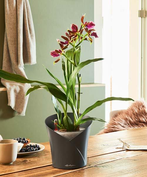orchidea αυτοποτιζόμενη γλάστρα